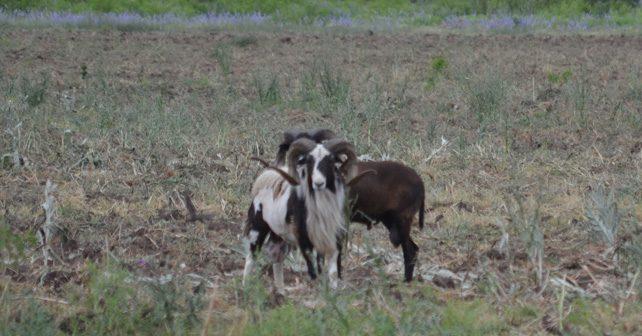Corsican Ram Hunting in Texas